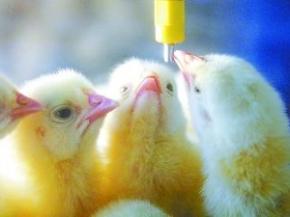 """养鸡基础教程:如何给雏鸡""""开水""""?"""