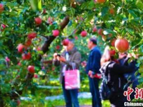 逾200家采购商赴新疆阿克苏特色果品产地购鲜果